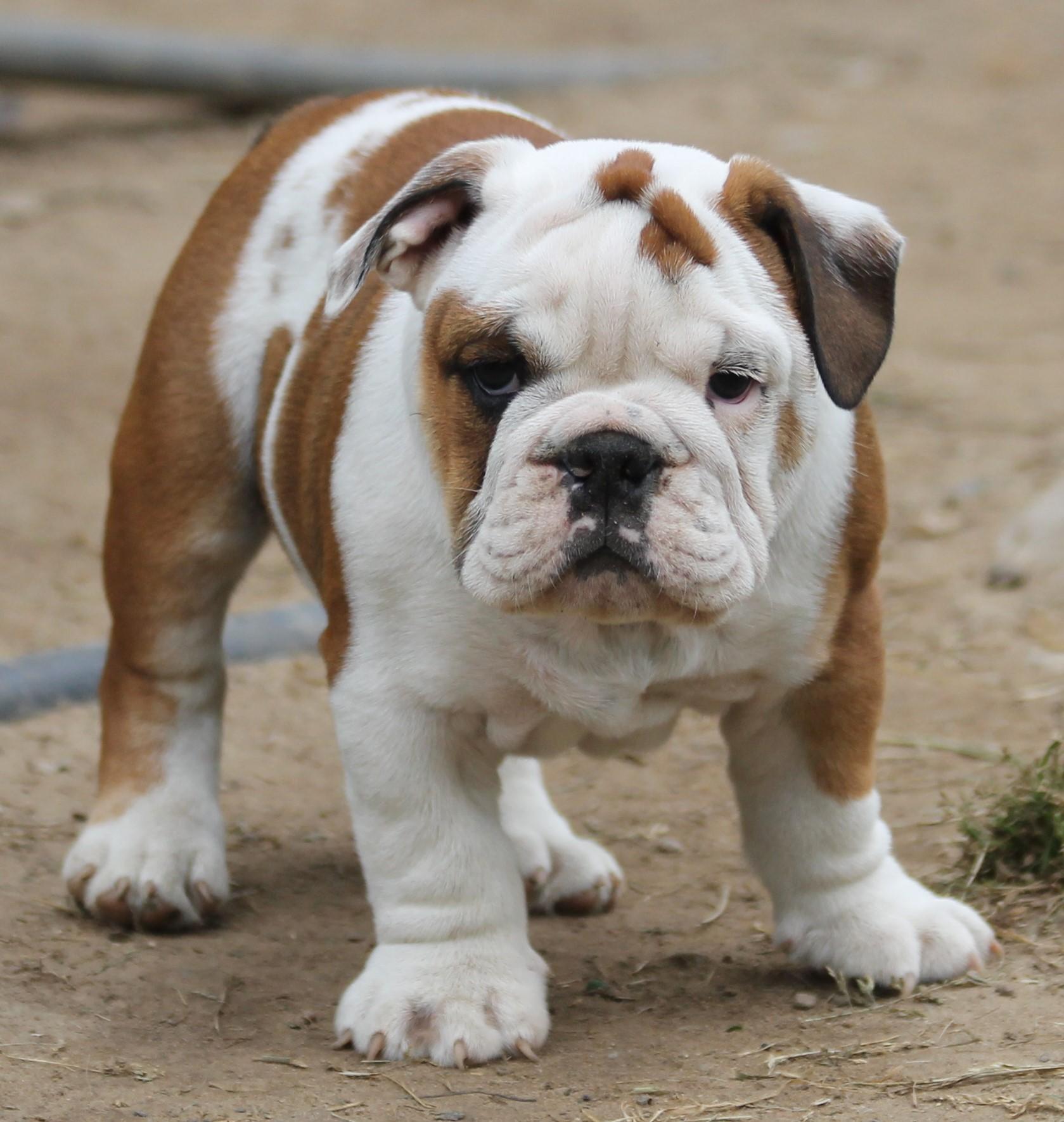 Lobo S English Bulldogs